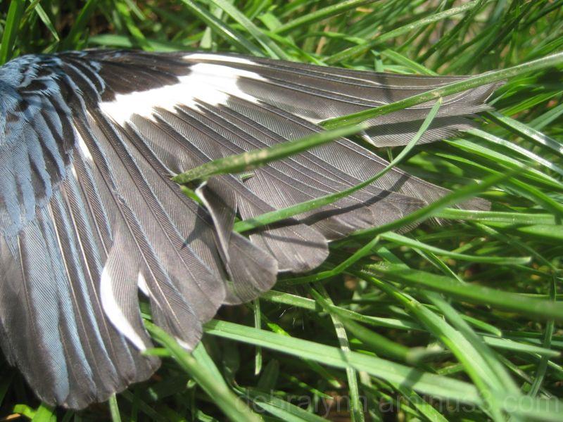 Wing of Dead Bluebird