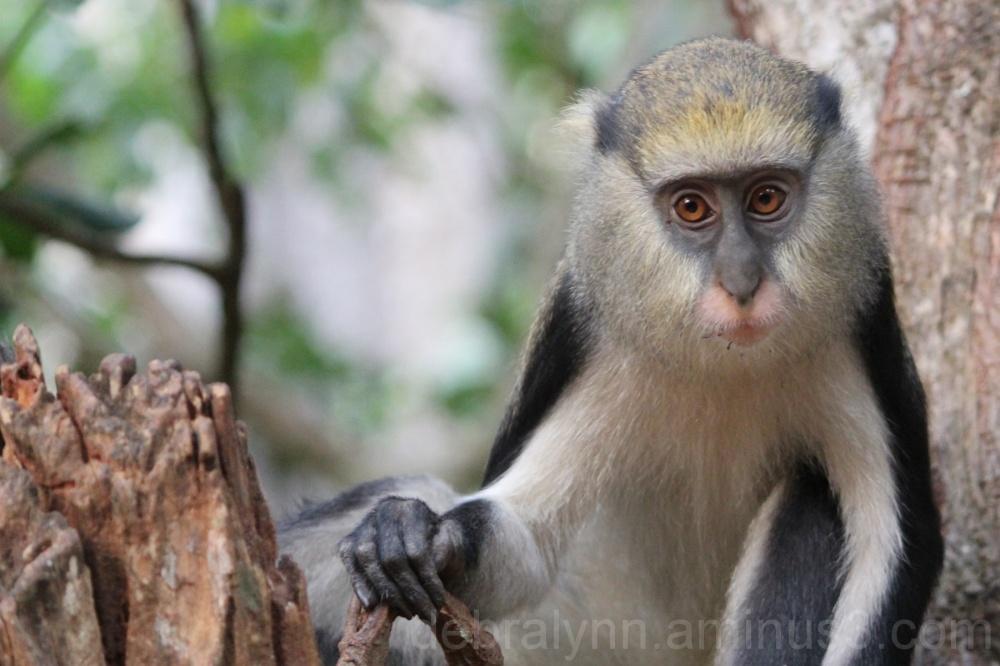 Monkey at the Boabeng-Fiema Monkey Sanctuary Ghana
