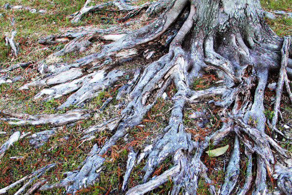 Old tree roots can make such gnarly shapes
