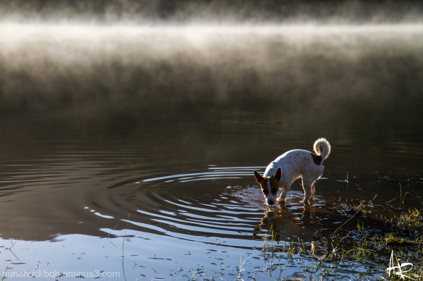 Jack russel dog drinking water from a dam