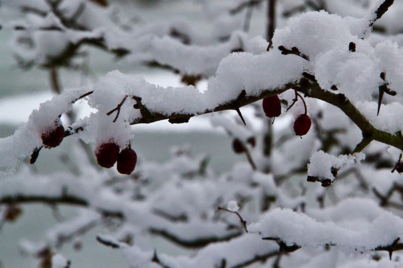 Baie rouge neige