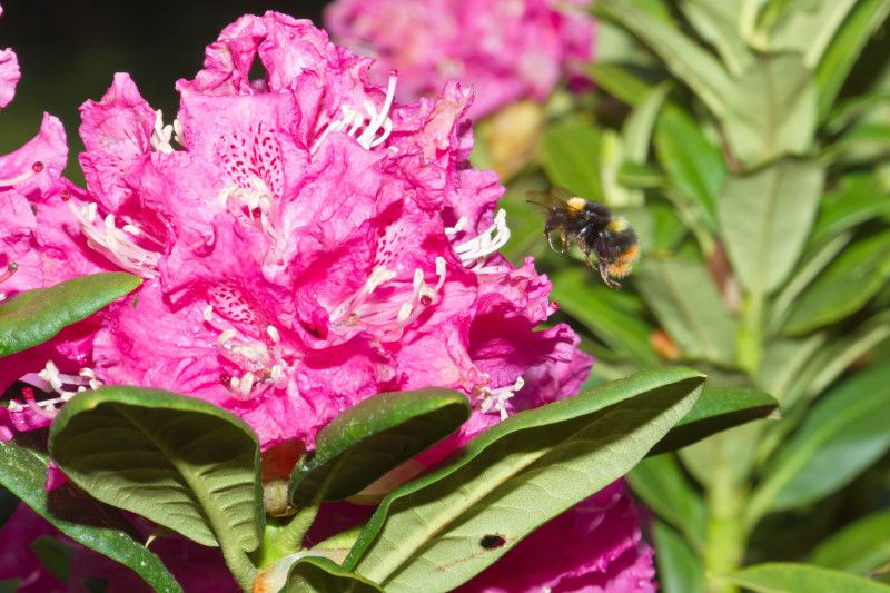 Bee and Rhododendron
