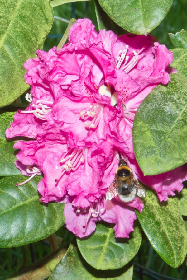 Bee and Rhododendron II