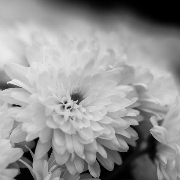 Softness of a white chrysanthemum
