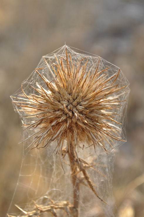 Thistle cocoon