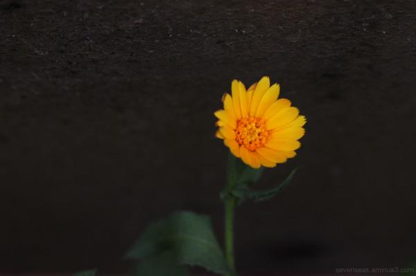 flower of war