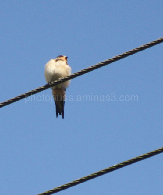 Swallow on a line