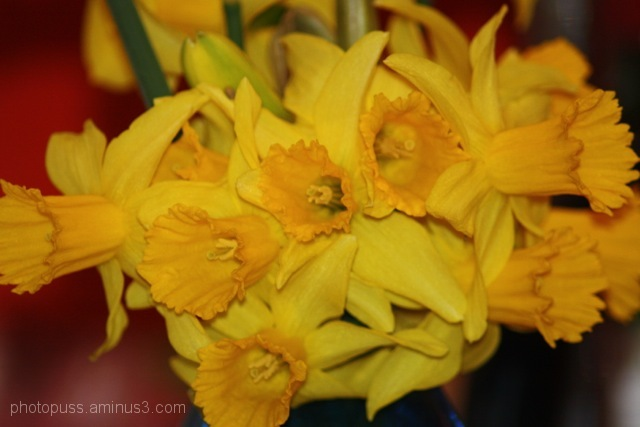 A bunch of daffodils