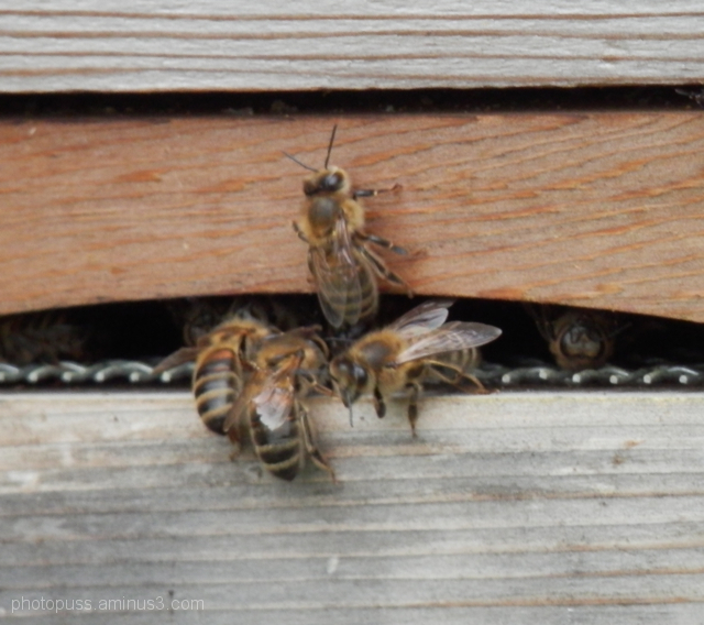 bees going in and out