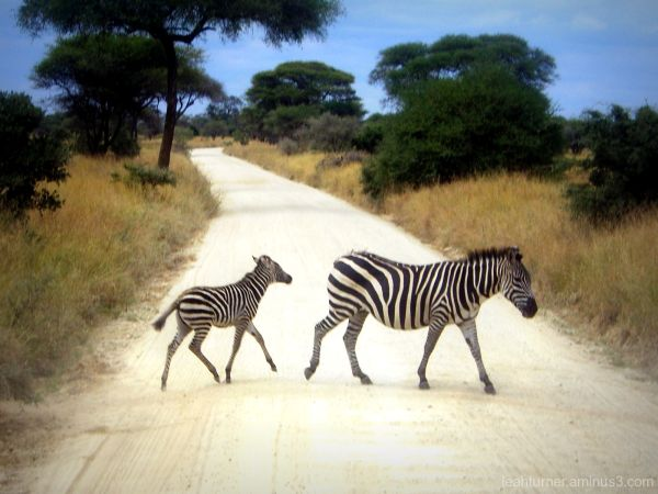 why did the zebra cross the road?