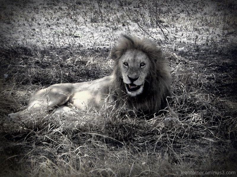 lion smiles.