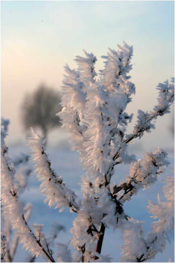 Snow cristals on branches