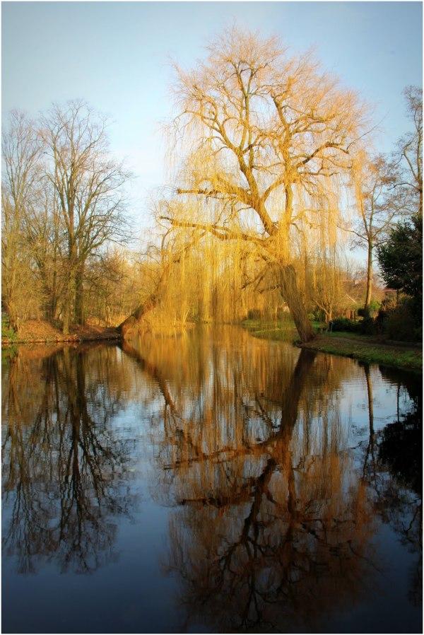 Weeping Willow in Winter Woerden