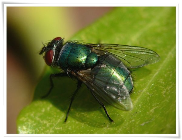 Green Bottle Fly  ( i think...)