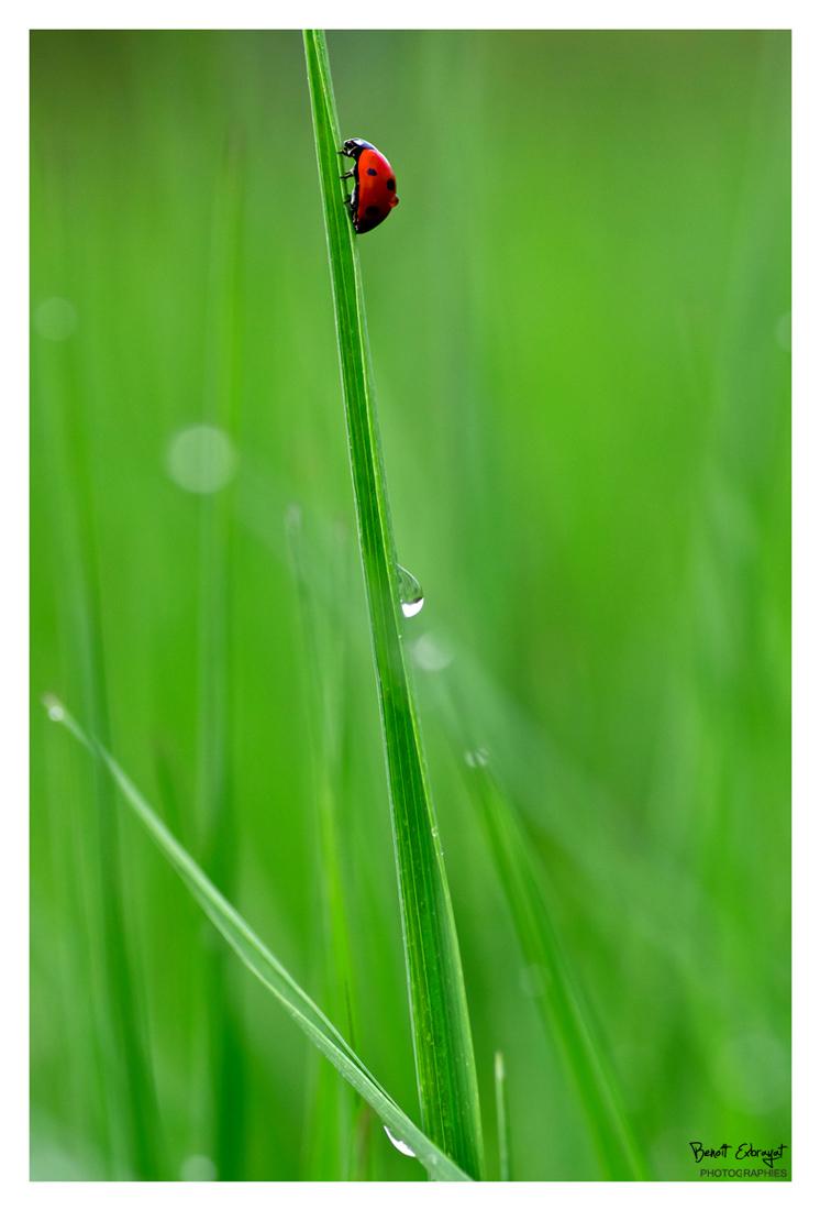 Coccinelle grimpant sur une tige après la pluie