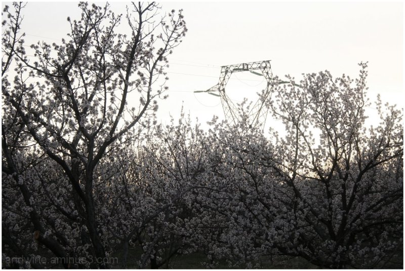 Blooming And an Electricity Pylon