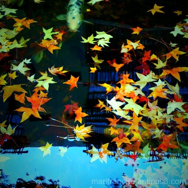 Autumn koi pond