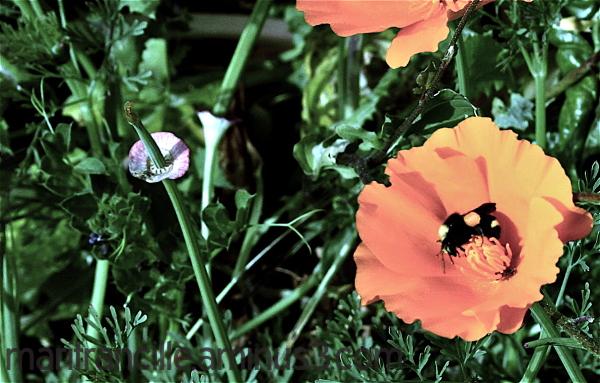 california poppy, bee