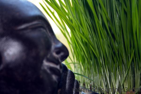 buddha boy loves wheat grass