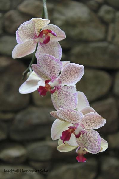 L'elegància de l'orquídia