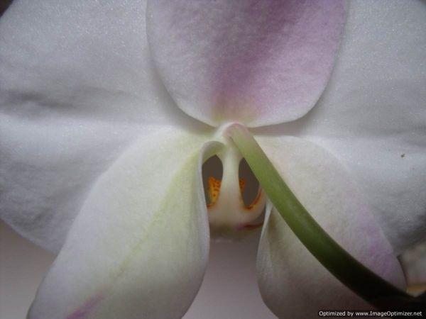 pure white wild orchid