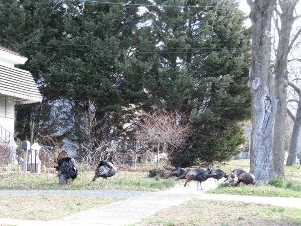 March of the turkeys