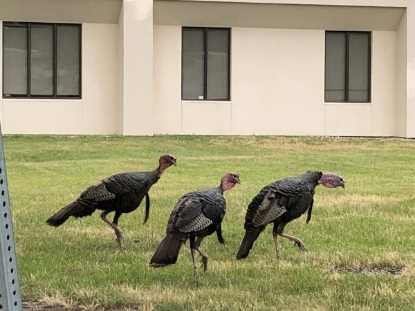 Wild turkeys of Cherry Hill