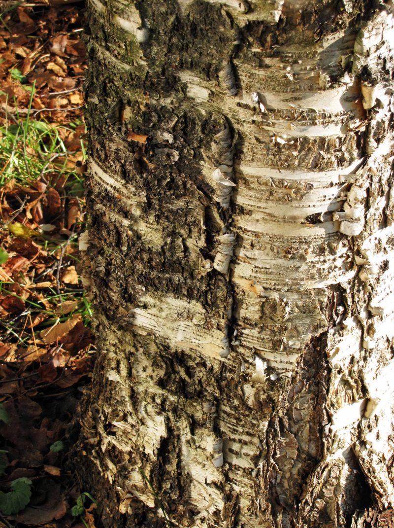 Birch Details