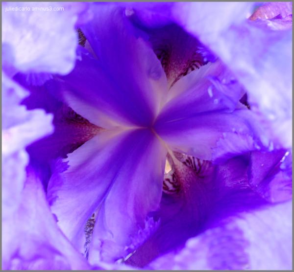 Iris in full bloom