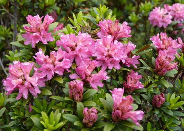 .... rhododendrons des Alpes ....