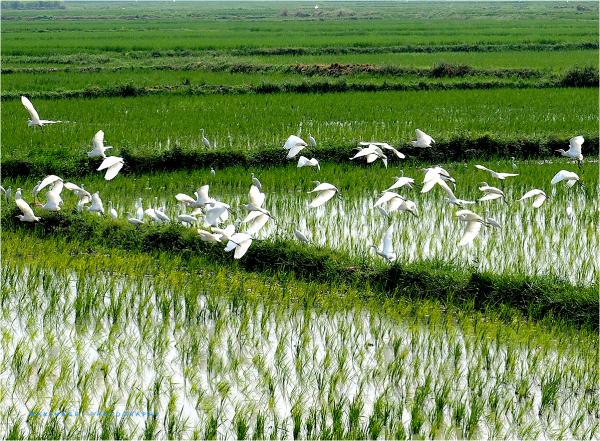 Vertes rizières et oiseaux blancs...