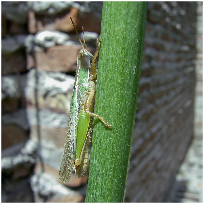 langosta insecto verde