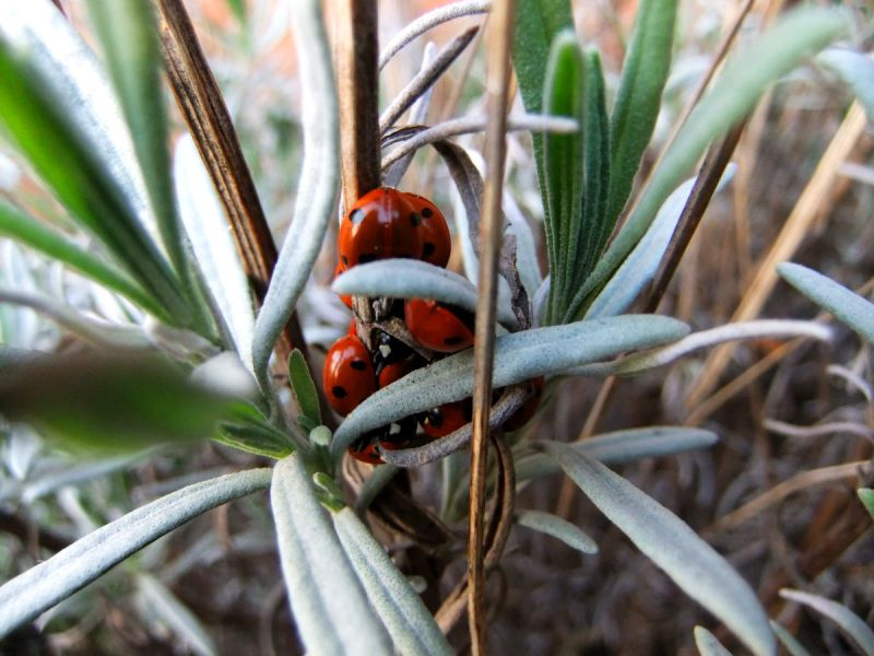 cluster of ladybirds in lavender plant