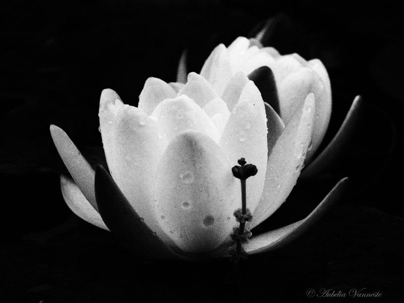 Waterlelie, Nénuphar, Water Lily