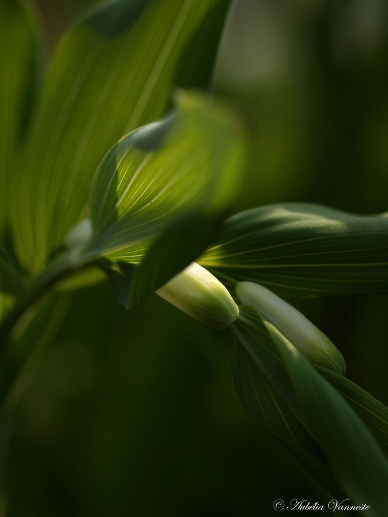 Polygonatum (Salomonszegel)