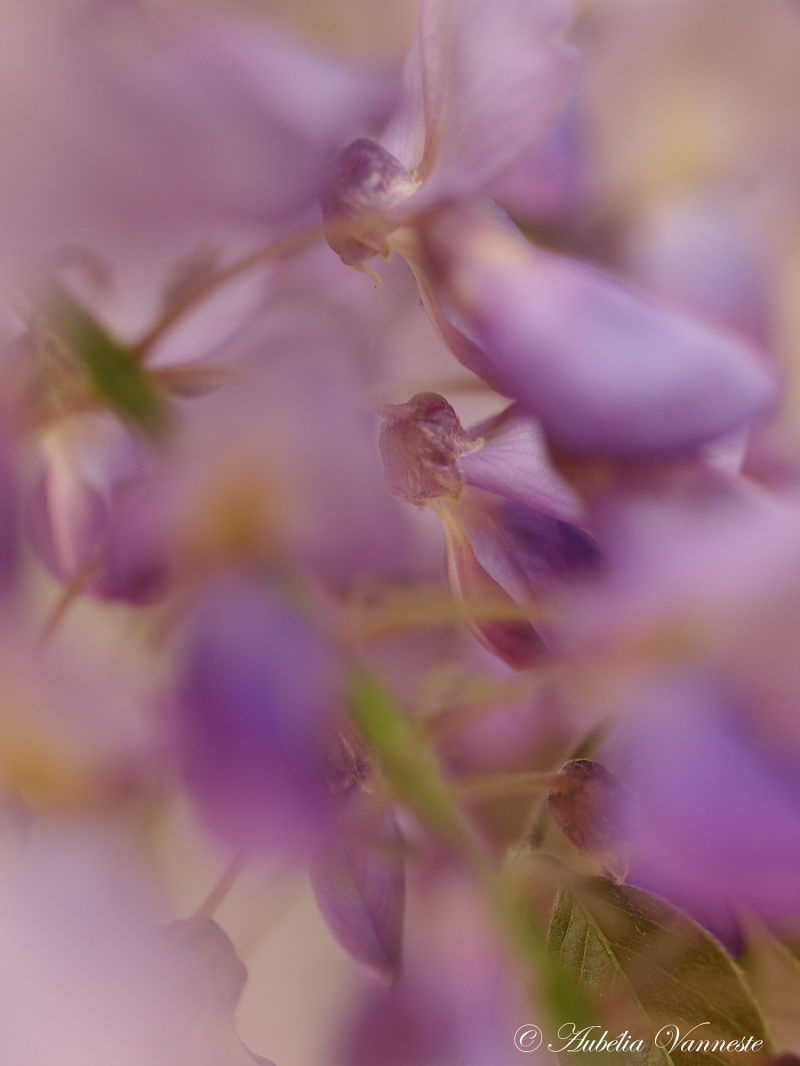 Abstract of blue Wisteria