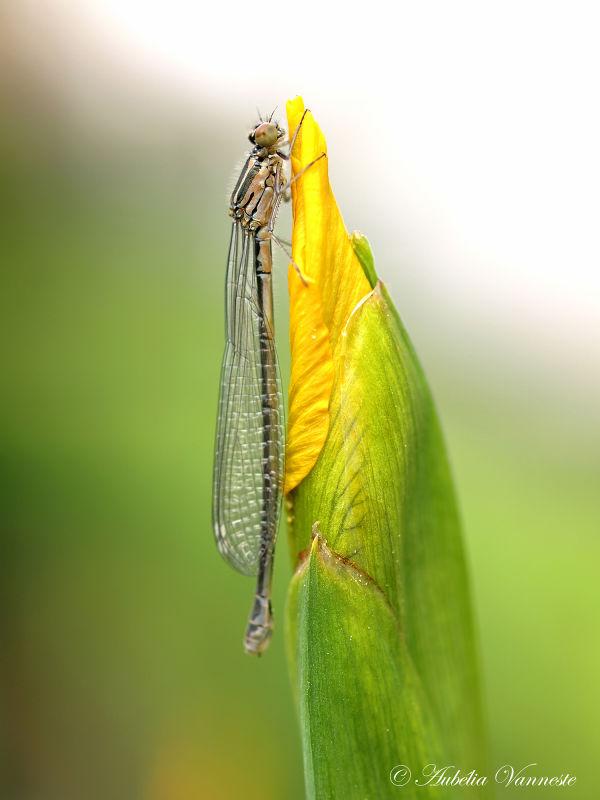 Dragonfly says hello to budding iris