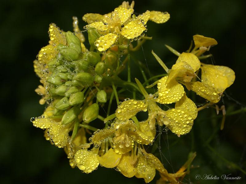 Brassica napus (Koolzaad)