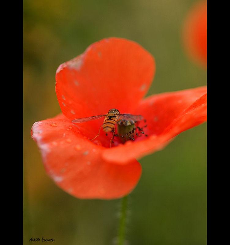 A hoverfly on a poppy