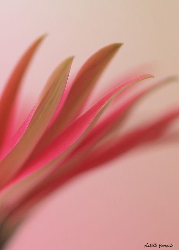 Pink lines of a Gerbera