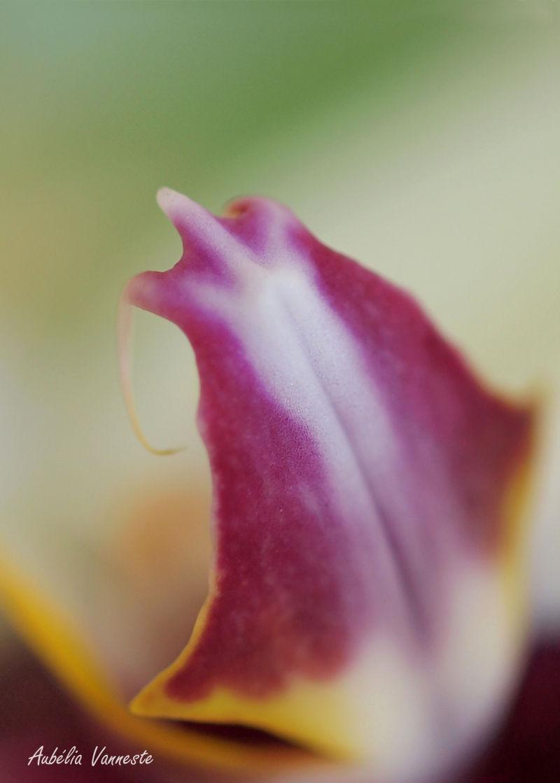 Coeur d'une orchidée