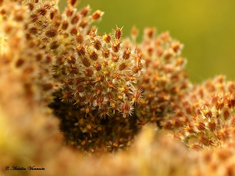 Wilde peen (Daucus carota)