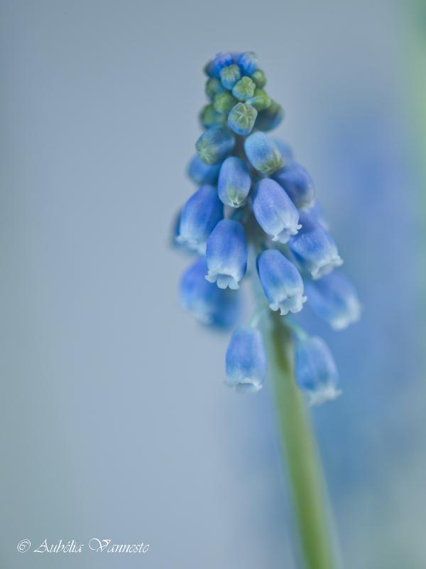 Blauw druifje - Muscari