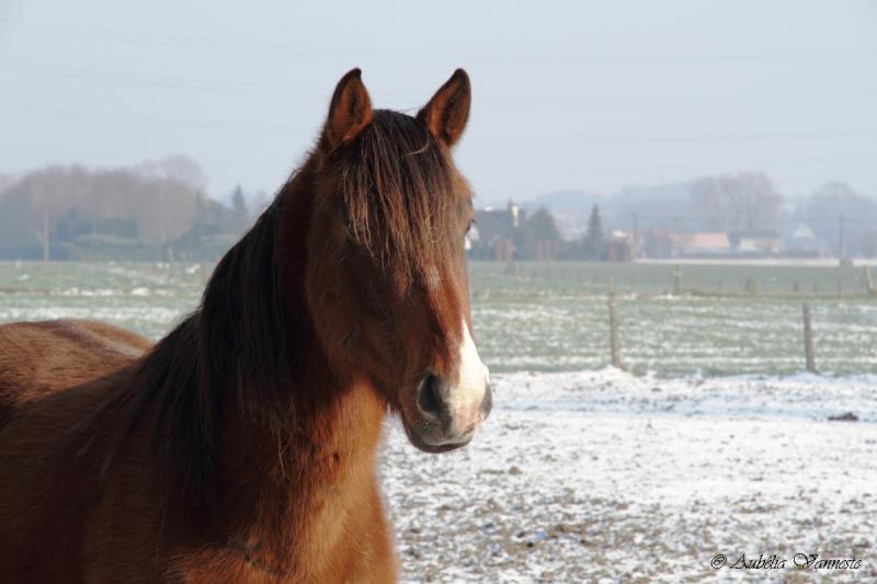 Un cheval dans la neige
