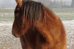 Un cheval dans la neige (1)