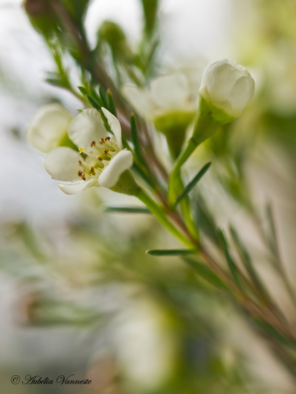 Chamelaucium - Waxflower