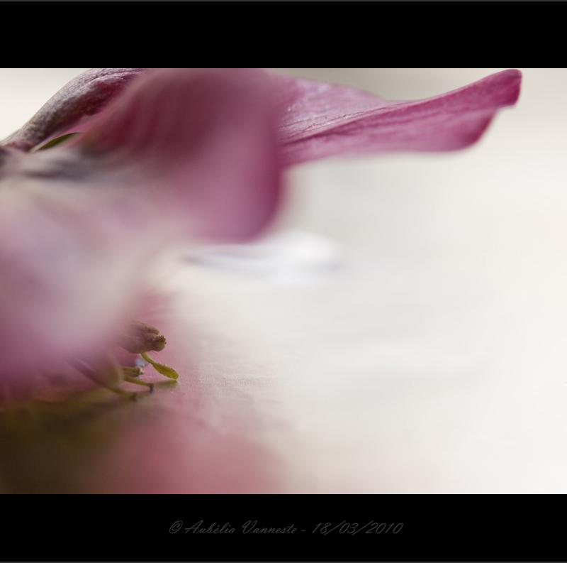 Helleborus - Tenderness