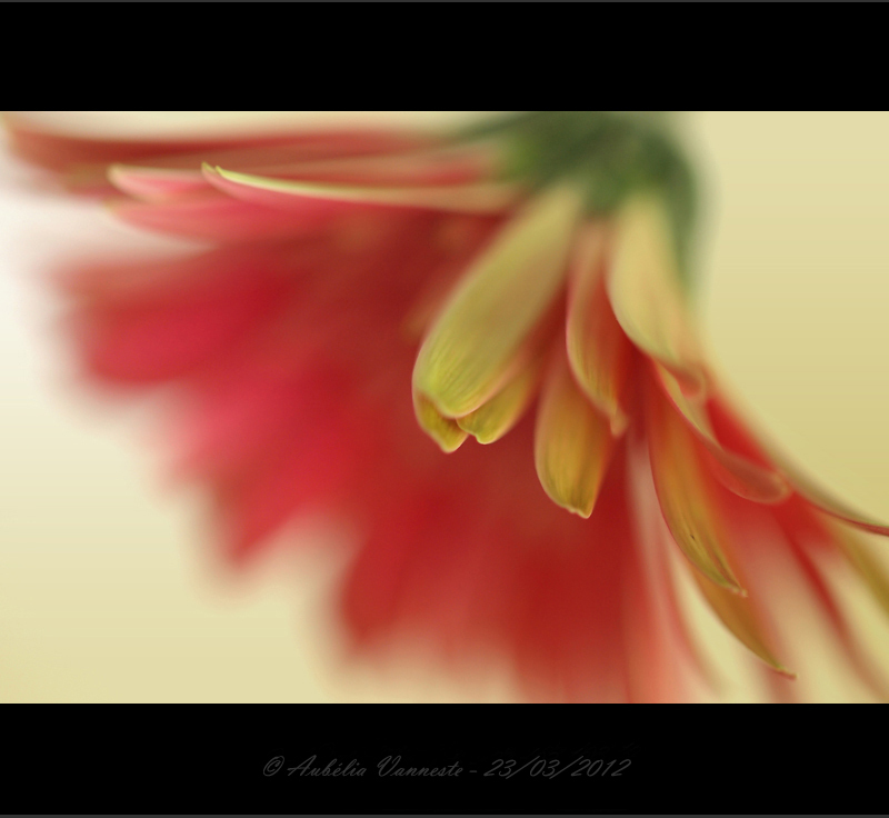 Abstract of Gerbera