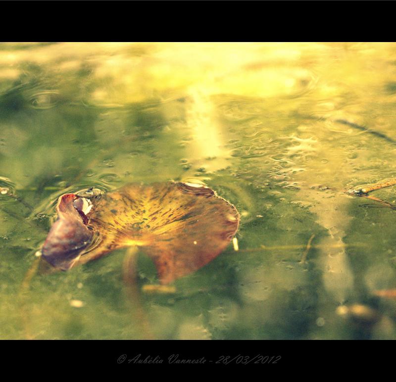 Nymphaea, Waterlelie