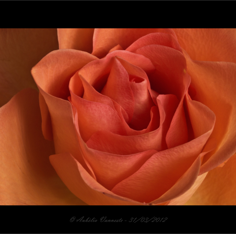 la beauté d'une rose, the beauty of a rose